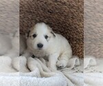 Small #77 Great Pyrenees