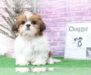 Shih Tzu Dog for Adoption in BEL AIR, Maryland USA
