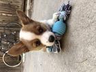 Pembroke Welsh Corgi Puppy For Sale in TEMPE, AZ, USA