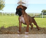 Small Photo #2 Boxer Puppy For Sale in CHILHOWEE, MO, USA