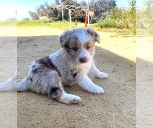 Miniature Australian Shepherd Puppy for Sale in ESCONDIDO, California USA