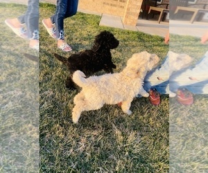 Labradoodle Puppy for sale in AMARILLO, TX, USA