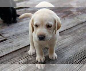 Labrador Retriever Puppy for sale in TRAVERSE CITY, MI, USA