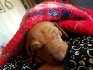 Vizsla Puppy For Sale in HALE CENTER, TX, USA