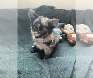 Pomeranian Puppy for sale in KEAAU, HI, USA