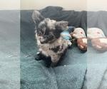 Small Photo #1 Pomeranian Puppy For Sale in KEAAU, HI, USA