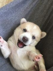 Alaskan Klee Kai Puppy For Sale in DICKSON CITY, PA, USA