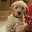 Goldendoodle Puppy For Sale in BURTON, OH, USA