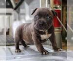 American Bully Puppy For Sale in STAR CITY, AR, USA