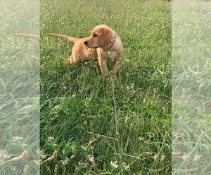Labrador Retriever Puppy for Sale in OVID, Michigan USA