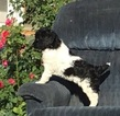 Goldendoodle Puppy For Sale in WESTON, OR, USA