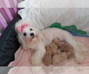 Maltipoo Puppy for sale in ALLOUEZ, WI, USA