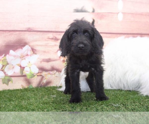 Medium Photo #1 Labradoodle Puppy For Sale in MARIETTA, GA, USA