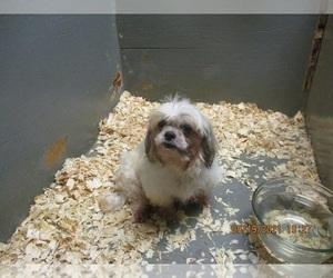 Shih Tzu Dogs for adoption in CARROLLTON, GA, USA