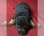 Small Photo #2 German Shepherd Dog Puppy For Sale in DELAVAN, IL, USA