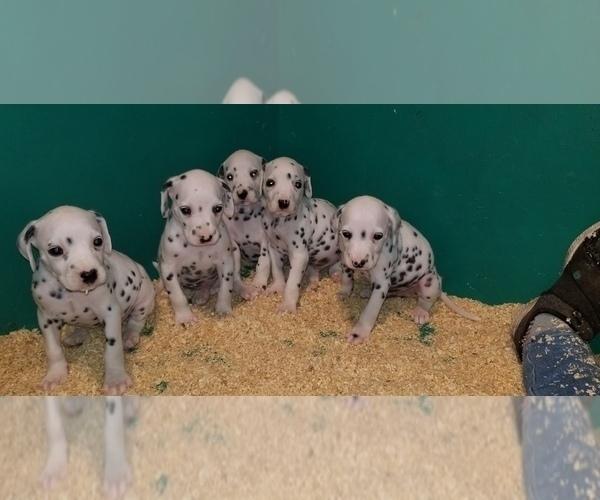 Medium Photo #6 Dalmatian Puppy For Sale in DUVALL, WA, USA