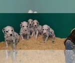 Small Photo #6 Dalmatian Puppy For Sale in DUVALL, WA, USA