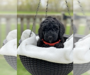 Poodle (Standard) Puppy for sale in CARPENTERSVILLE, IL, USA