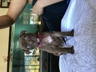 American Pit Bull Terrier Puppy For Sale in SACRAMENTO, CA,