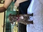 Rednose pitbull puppies