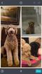 Poodle (Standard) Puppy For Sale in HUNTSVILLE, AL, USA