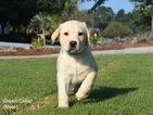 Labrador Retriever Puppy For Sale in WARRENVILLE, SC, USA