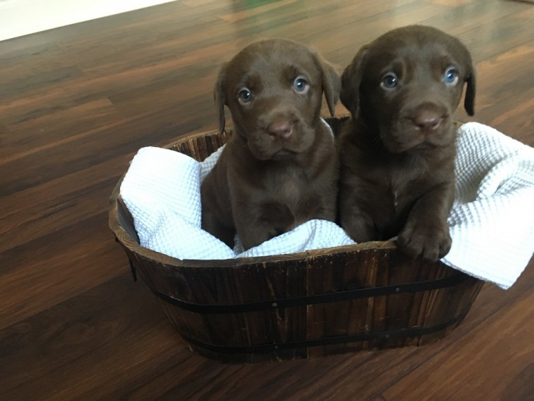 chocolate lab puppies ohio view ad labrador retriever puppy for sale near ohio 3127