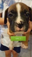 Boxer Puppy For Sale in COTTONWOOD, AZ, USA