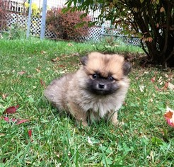 Pomeranian Puppy For Sale in CHARITON, IA