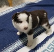 Small #5 Border Collie