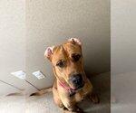 Small Photo #3 Boxador Puppy For Sale in CLEVELAND, TN, USA