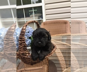 Poodle (Toy)-Shih Tzu Mix Puppy for Sale in FRANKLIN, Tennessee USA
