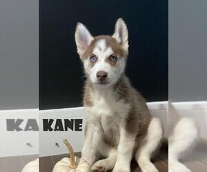 Siberian Husky Puppy for sale in TIVERTON, RI, USA