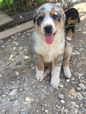 Australian Shepherd Puppy For Sale in BENTONVILLE, AR
