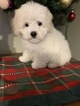 Maltese-Poodle (Toy) Mix Puppy For Sale in RICHMOND, Illinois,