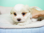 Shih Tzu-Yorkiepoo Mix Puppy For Sale in LA MIRADA, CA, USA