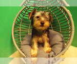 Puppy 2 YorkiePoo