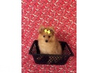 Pomeranian Puppy For Sale in CLARKSVILLE, Tennessee,
