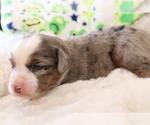 Small Photo #5 Australian Shepherd Puppy For Sale in STAFFORD, VA, USA