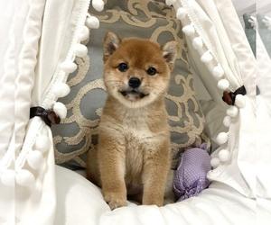 Shiba Inu Puppy for Sale in SAN FRANCISCO, California USA
