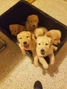 Golden Retriever Puppy For Sale in FLUSHING, MI, USA
