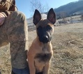 Belgian Malinois Puppy For Sale in TAZEWELL, Tennessee,