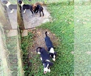 Border Collie-Hangin Tree Cowdog Mix Puppy for Sale in LAKE PLACID, Florida USA