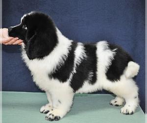Newfoundland Dog for Adoption in Bucharest, Bucuresti Romainia