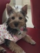 Yorkshire Terrier Puppy For Sale in GEORGETOWN, TX,
