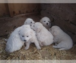 Akbash Dog-Great Pyrenees Mix Puppy For Sale in ORACLE, AZ, USA