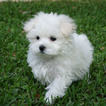 Maltese Puppy For Sale in CEDAR PARK, TX, USA