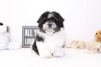 Zuchon Puppy For Sale in NAPLES, FL