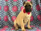 Presa Canario Puppy For Sale in EAST EARL, PA, USA