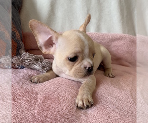View Ad: French Bulldog Puppy for Sale near South Carolina